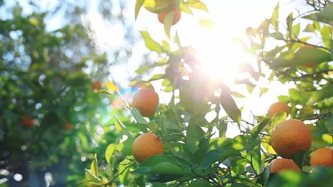 Sunlight passes through the branch, which is swaying in the wind with oranges.