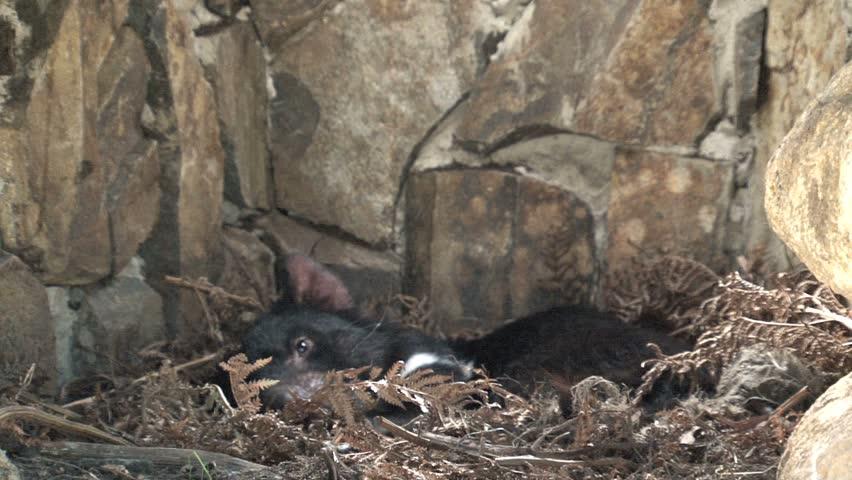 Tasmanian Devil in wildlife park.    | Shutterstock HD Video #1557082