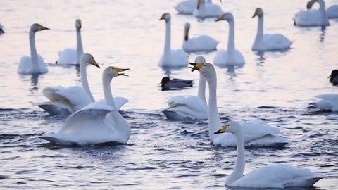courtship wild swans slow motion