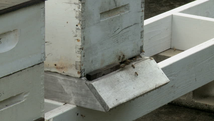 honeybees buzzing about wooden beehive