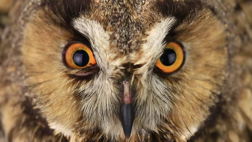 portrait, look of an owl with closing of eyes