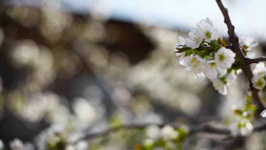 Static Rack Focus Shot Of White Flowers Blooming On Bradford Pear ...