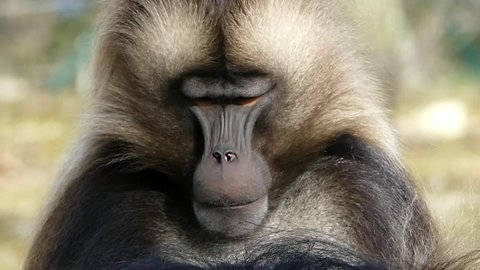 gelada monkey portrait,