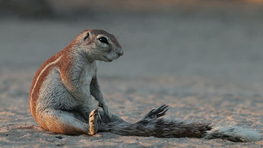 Ground squirrel (Xerus inaurus) sitting on its haunches, Kalahari desert, South Africa