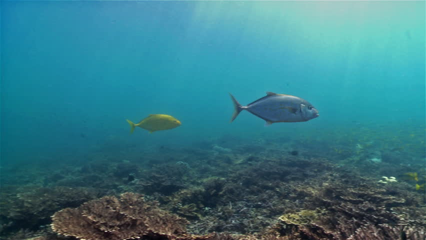 Pair of hunting jacks swimming over a pristine shallow coral reef covered in table coral in Musandam in Oman. | Shutterstock HD Video #15788962