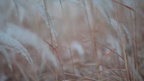 Stipa is a genus of around 300 large perennial hermaphroditic grasses collectively known as feather grass, needle grass, and spear grass. They are placed in subfamily Pooideae and tribe Stipeae.