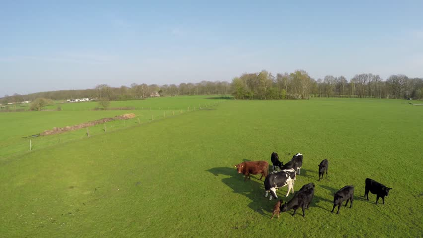 Aerial flying near cattle of mixed species cows Holstein cows and Aberdeen Angus cows group small cute just born calf jumps out of herd just able to stand beautiful aerial blue sky background 4k