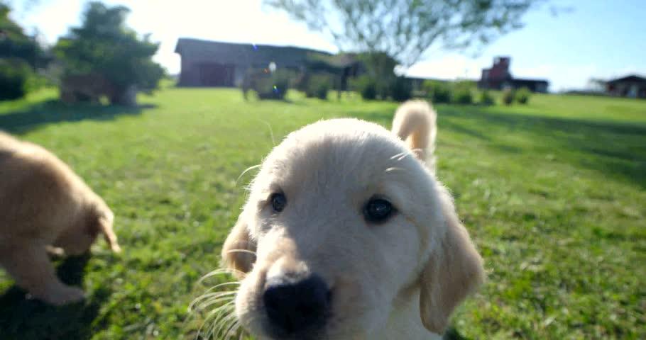 Puppies on field Dog Golden   Shutterstock HD Video #15871252