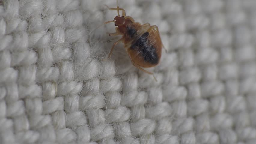Bedbug insect parasite on the sheet in bed at night, macro