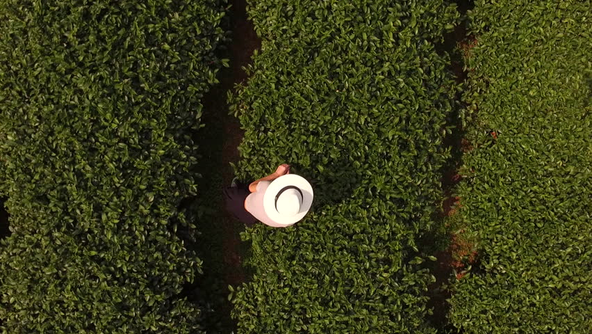 Aerial shooting from flying drone of a woman worker is collecting tea leaves on a large plantation in Thailand. Top view of young female traveler in sun hat is standing on a field with coffee brushes | Shutterstock HD Video #15941599