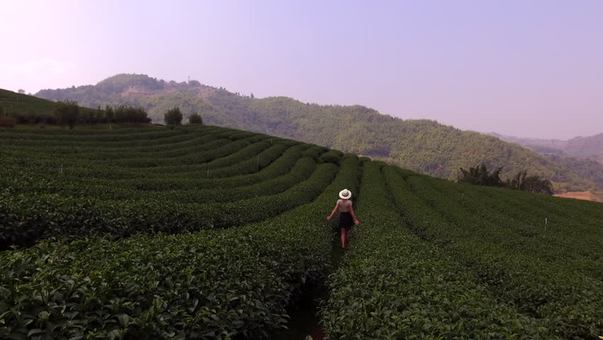 Aerial shooting from remote drone of a young woman tourist is walking along tea plantations in Asia during her the long awaited summer trip. Hipster girl is enjoying smell the coffee bushes | Shutterstock HD Video #15942787