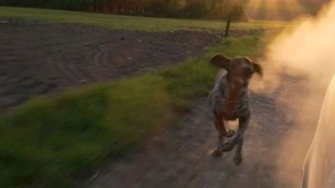 Dog chasing car. Young, cute German pointer dog running outdoor at sunset.