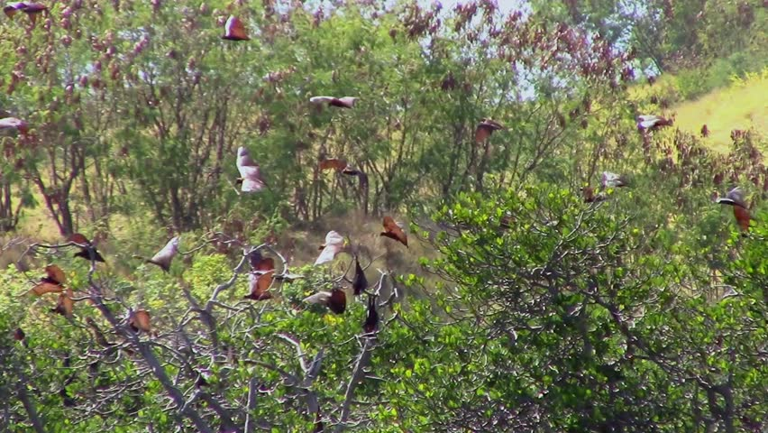 Flying Foxes over Riung's mangrove