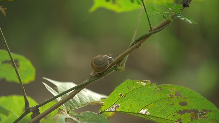 Footage of a snail on tree branch in Thailand | Shutterstock HD Video #16016692