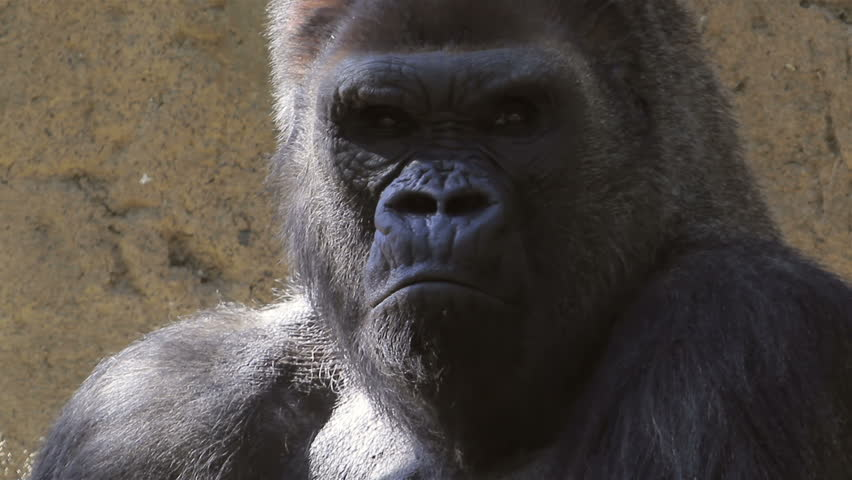 Image result for angry gorilla