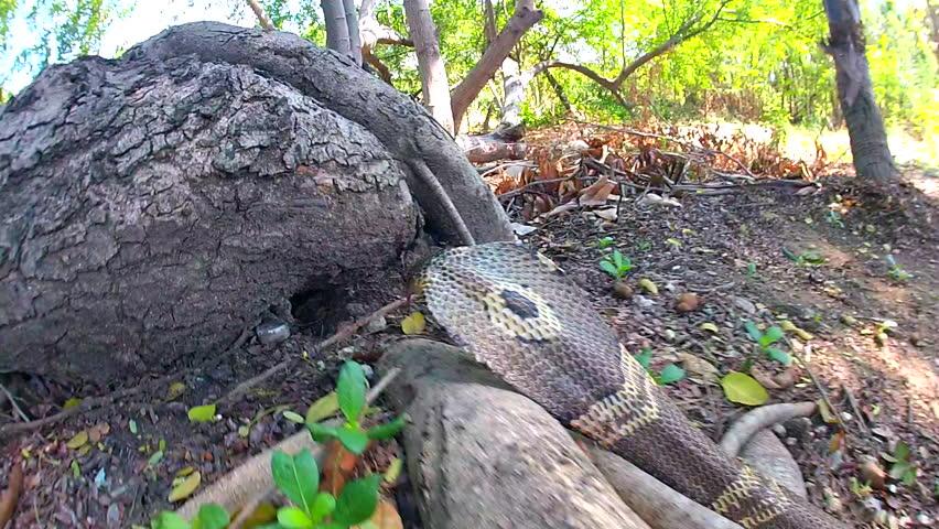 Cobras slither through in Thailand