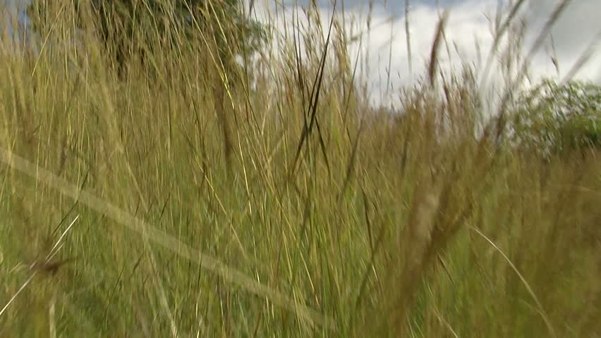 POV predator moving quickly in tall grass, Africa