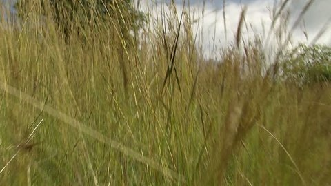 POV predator moving quickly in tall grass, Africa
