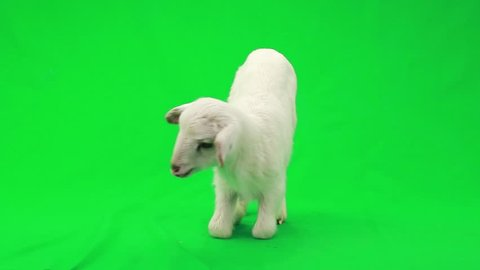 little sheep on a green screen