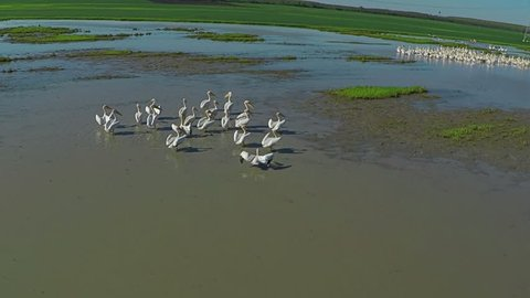 Aerial view flying Flock of Pelicans, Slow motion 120 fps. Large flock of birds Great white Pelicans flying above the lake, ponds and small village in country side, morning light