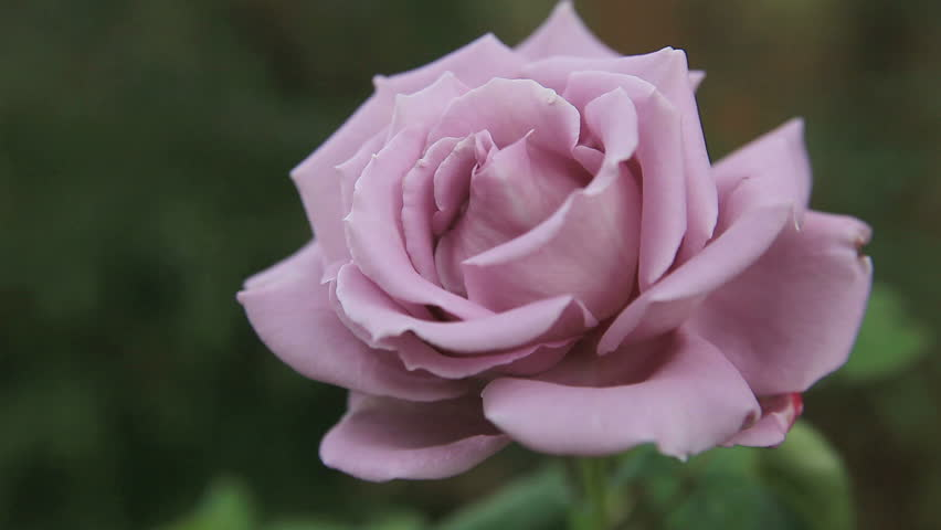 Closeup view of a pastel-colored rose with room for text