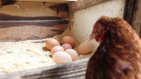 Little child picking up the morning eggs the free range chickens had laid