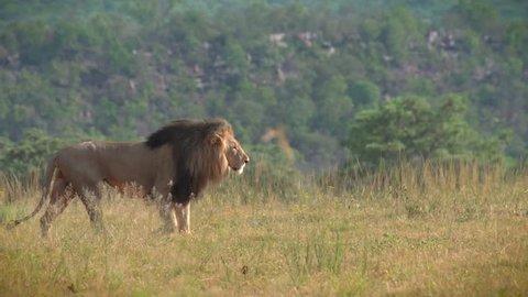 Regal male lion walking across grassland