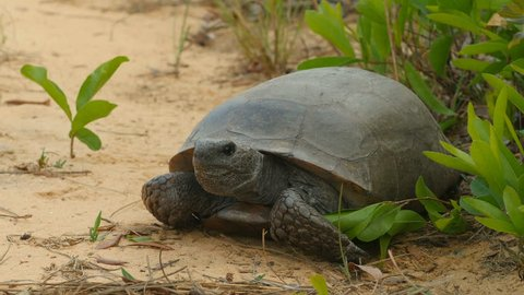 A Gopher Tortoise (Gopherus polyphemus) prepares to cross a dirt road in a scrubby pine flatwoods habitat in Highlands Hammock State Park in Sebring, Florida.
