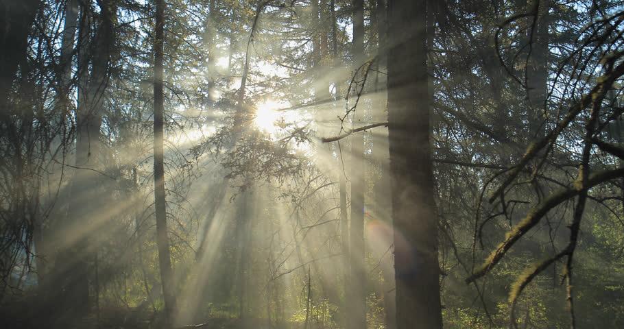 Sun light shining through the trees. Morning fog.