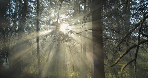 Sun light shining through the trees. Morning fog.
