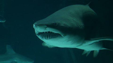 bull shark. Filmed in May 2016.