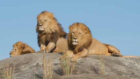 3 big male lions lying on the rocks in Serengeti national park Tanzania - 4K