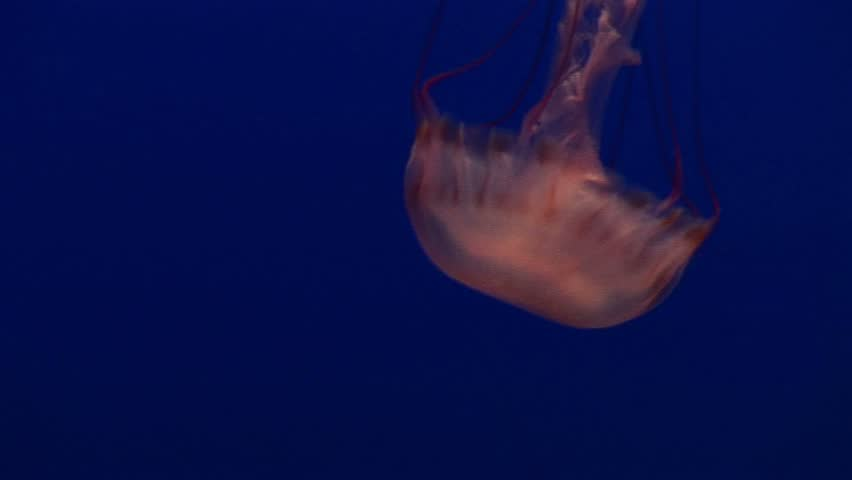 Medium shot of a jelly-fish floating gracefully in the ocean.