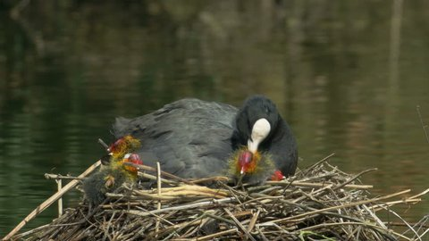 Coot young (Fulica atra) being preened by adult in the nest