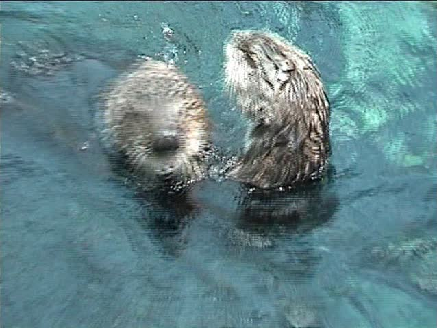 Couple of otters playing in the water