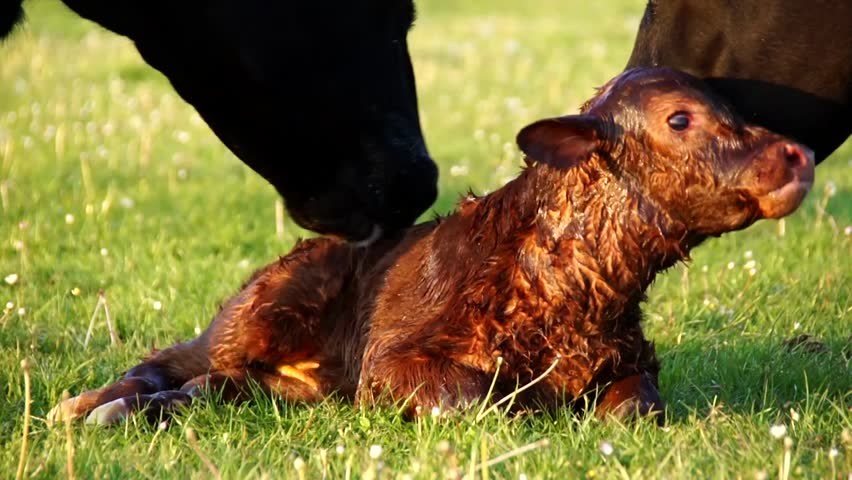 New born beautiful cute calf struggling to rise to its feet fourth attempt mother cow licking young infant vigorously Aberdeen Angus cattle summer evening on green grass field minutes after birth