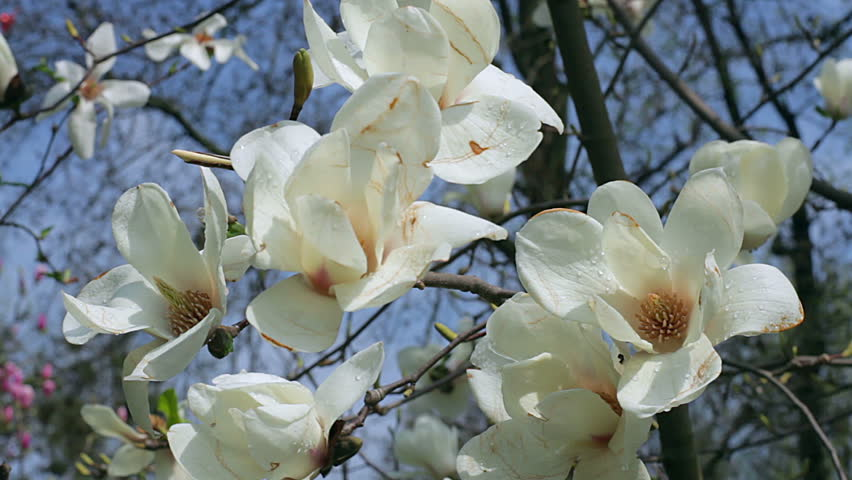 Magnolia tree with blossoming flowers stock footage video 10714592 white magnolia flowers flowers of white magnoliawhite magnolia white magnolia flowers on mightylinksfo Images