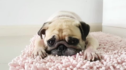Close-up face of Cute pug puppy dog sleeping by chin and tongue lay down on mat floor