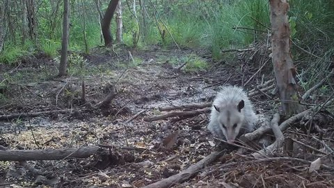 Opossum (Didelphis virginiana), the only marsupial in North America north of Mexico, scavenging in a southern swap. May  in Georgia.