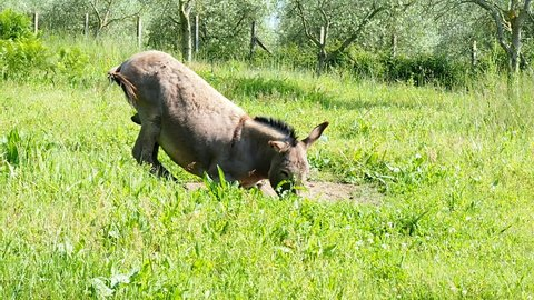 Donkey rolling in the grass