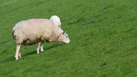 Sheep is eating and pooping grass well walking on a dike in Holland.