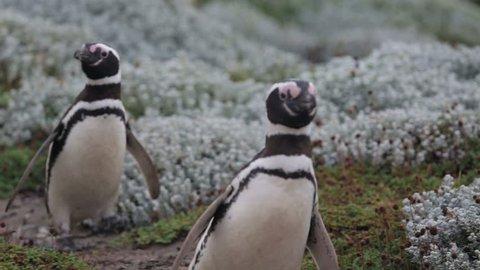 2 Magellanic penguin walking at Otway Sound Penguin Colony