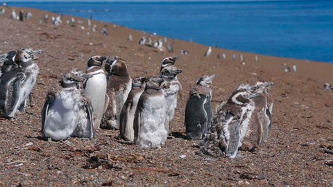 A group of Magellanic penguin with chicks on the beach at Valdes Peninsula in Argentina