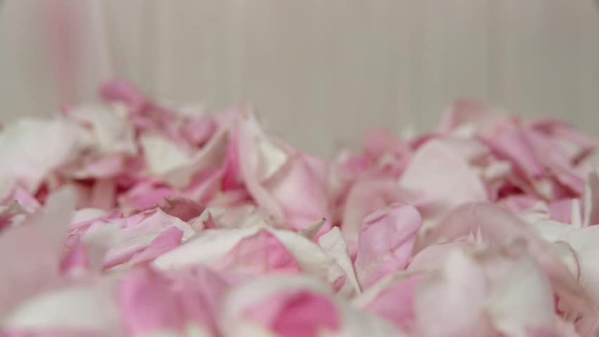 Tea rose petal fall down. Closeup. Elegant flower background. Harvested tea rose petals. UHD 4k