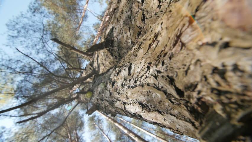 evergreen tree bark background - photo #15