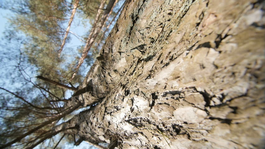 evergreen tree bark background - photo #11