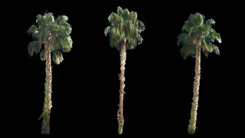 3 blowing on the wind beautiful green full size real tropical palm trees isolated on alpha channel with black and white luminance matte, perfect for film, digital composition.