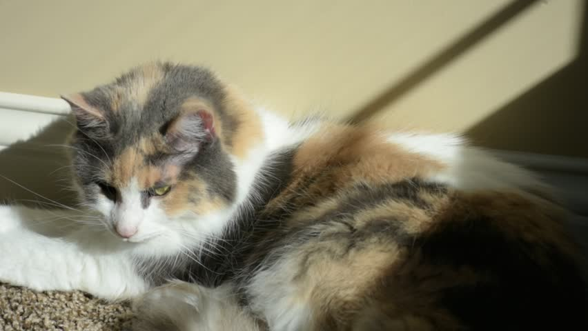 An adult domesticated calico cat yawns and then starts slowly closing her eyes and falling asleep.