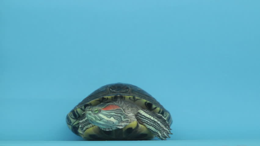 Turtle on a blue background | Shutterstock HD Video #17178112