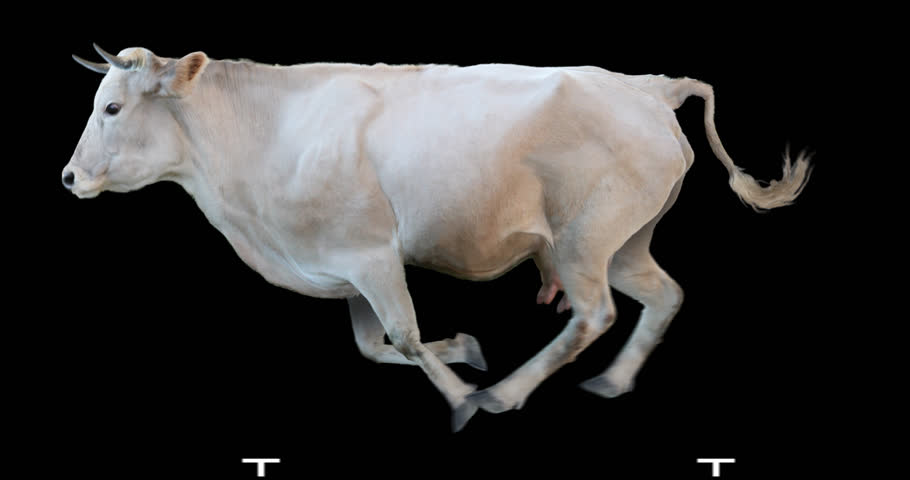 picture of cow on steroids